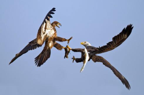 Bald Eagle Stealing