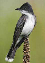 The little Kingbird