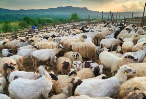 sheep motley